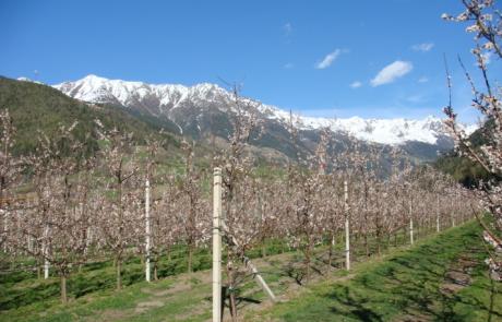 Bloesem boomgaard Maass Prutz Kaunertal Tirol